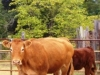 MovingCowstoBottom 021.Cropped
