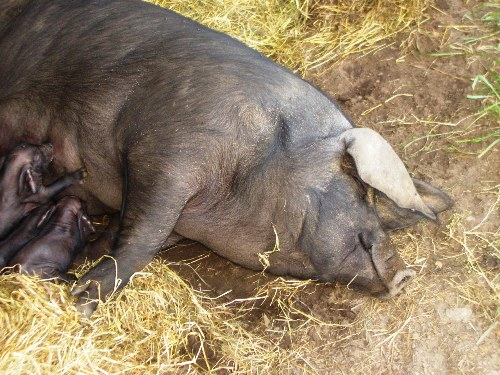 Our sows farrow outdoors with plenty of space and soft bedding.