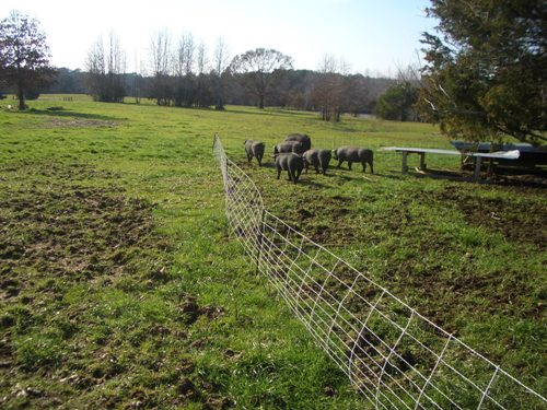 We utilize the natural rooting behavior of the pigs to massage our pasture fertility. They enjoy every minute of it!