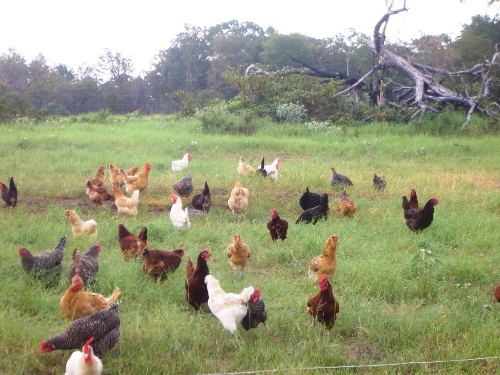 Pasture-Raised Hens