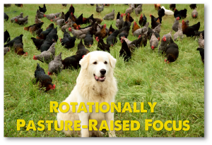 20150615 rotationally pasture raised focus dog with chickens