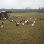 Here is the destination. These are the big chickens, the future flock-mates of our little birdies...