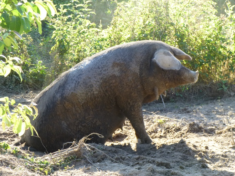 And now for some non-cow pictures. This momma pig rises up out of the cool mud to show us her wattles!